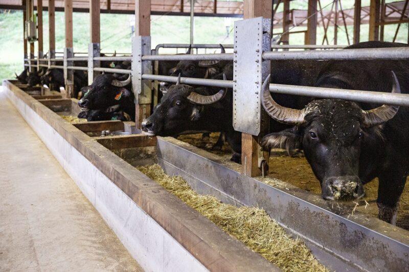 KURKKU FIELDSの水牛